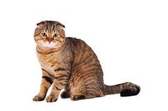 苏格兰人折叠猫画象 库存图片