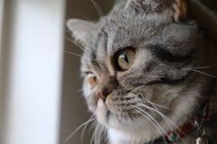 苏格兰人看窗口的折叠猫 免版税库存图片