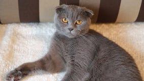 苏格兰人说谎在白色毛皮的折叠猫 影视素材