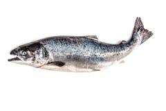 苏格兰大西洋三文鱼 库存照片