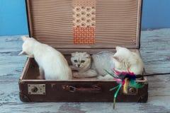 苏格兰平直的品种和一只年轻黄鼠加州两只小猫  免版税库存图片