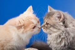 苏格兰平直的小猫 免版税图库摄影