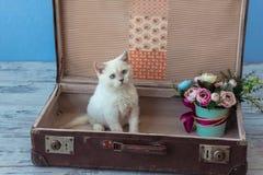 苏格兰平直的有bouqu的品种里面老手提箱小猫  免版税图库摄影