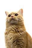 苏格兰平直-与非常滑稽的表示枪口的一只猫 库存图片