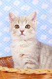 苏格兰平直的小猫 库存照片