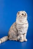 苏格兰平直的小猫 免版税库存照片