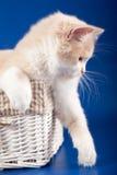 苏格兰平直的小猫 库存图片