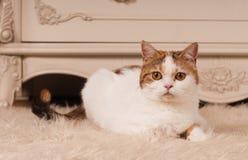 苏格兰平直的猫在家 免版税库存照片