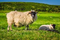 苏格兰扮演黑人绵羊 库存照片