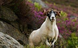 苏格兰扮演黑人绵羊 库存图片