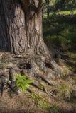 苏格兰松树树干在苏格兰 免版税图库摄影