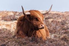 苏格兰母牛 免版税库存照片