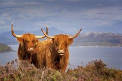 苏格兰母牛IV 库存图片