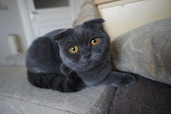 苏格兰灰色猫 库存图片