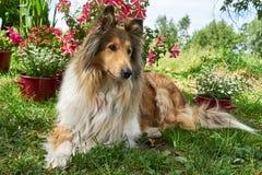 苏格兰牧羊人大牧羊犬在花背景的庭院里  免版税库存照片