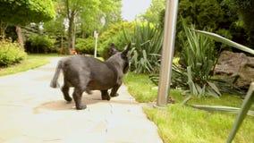 苏格兰狗在一条石道路 苏格兰狗在公园走 股票视频