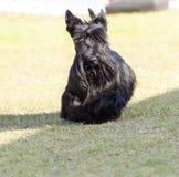 苏格兰狗 免版税图库摄影