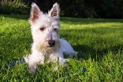 苏格兰狗 免版税库存图片