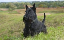 苏格兰猎犬 免版税库存照片