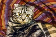 苏格兰猫 免版税库存图片