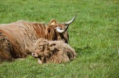 苏格兰的牛科动物 免版税库存照片