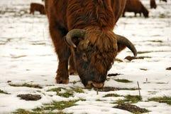 苏格兰的高地居民 库存图片