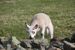 苏格兰羊羔 免版税库存照片