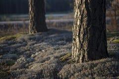 苏格兰语森林的杉木 免版税图库摄影