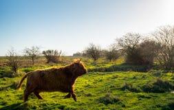 苏格兰远离摄影师的高地居民母牛快速的赛跑 图库摄影