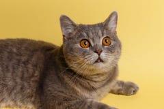 苏格兰逗人喜爱的猫的画象直接 免版税图库摄影