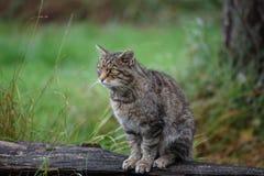 苏格兰野猫 库存照片