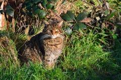 苏格兰野生猫 免版税库存照片