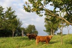 苏格兰长角牛在一个威严的夏天晚上 免版税库存照片