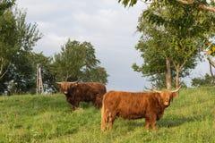 苏格兰长角牛在一个威严的夏天晚上 免版税库存图片