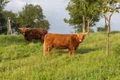 苏格兰长角牛在一个威严的夏天晚上 库存照片