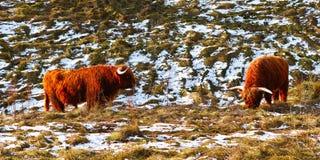 苏格兰高地居民牛在冬天 库存照片