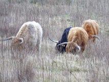 苏格兰高地居民 免版税图库摄影