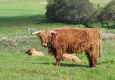 苏格兰高地母牛和小牛 库存图片
