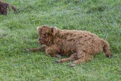 苏格兰高地母牛小牛 免版税库存照片