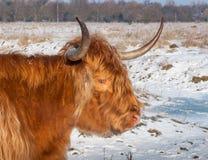 苏格兰高地母牛的画象 库存照片