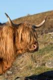 苏格兰高地母牛 免版税图库摄影