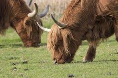 苏格兰高地牛、母牛、咕咕声、猜错金牛座吃草有背景的和画象 图库摄影