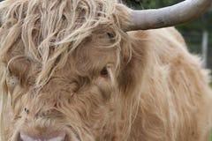 苏格兰高地牛、母牛、咕咕声、猜错金牛座吃草有背景的和画象 免版税库存图片