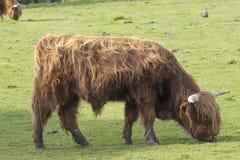 苏格兰高地牛、母牛、咕咕声、猜错金牛座吃草有背景的和画象 库存图片