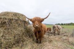 苏格兰高地红褐色的母牛在草甸 免版税图库摄影
