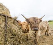 苏格兰高地红褐色的母牛在草甸 图库摄影