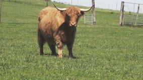 苏格兰高地长毛的红色母牛 股票视频
