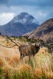 苏格兰鹿 库存照片