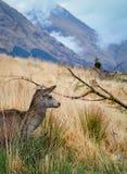 苏格兰鹿 免版税图库摄影