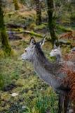 苏格兰鹿 库存图片